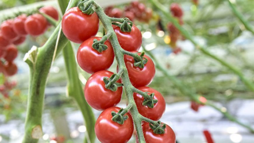 The Sweet Enjoy vine tomatoes are being harvested!